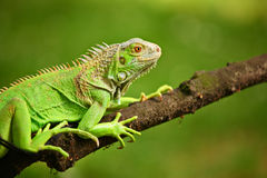 Iguana on a tree branch Stock Image