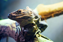 Iguana on a tree branch Stock Images