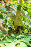Iguana on  tree Stock Image