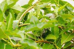 A Iguana on the Tree Royalty Free Stock Photos