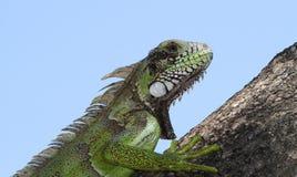 Iguana on tree Stock Photos