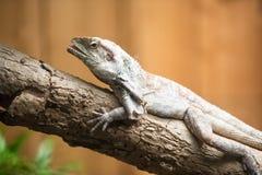 Iguana. An Iguana on a tree royalty free stock images