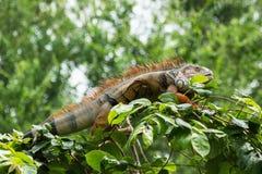 Iguana on tree. Stock Photos