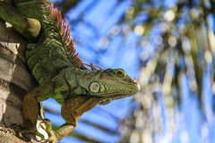 Iguana on tree trunk Royalty Free Stock Images