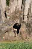 Iguana in tree. Wild iguana in a tree trunk Stock Image