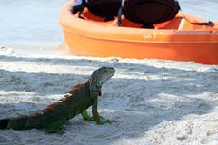 Iguana on tropical beach Key Largo, Florida. Marine iguana sitting in the shade on a tropical beach with paddle boat in background Royalty Free Stock Image