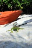 Iguana on tropical beach Key Largo, Florida Royalty Free Stock Photo