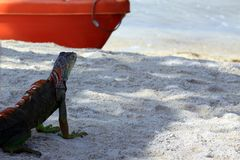 Iguana on tropical beach Key Largo, Florida Royalty Free Stock Photos
