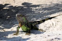 Iguana on tropical beach Royalty Free Stock Images