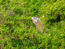 Iguana in tropical forest Stock Photography