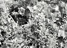 Iguana in tropical vegetation in black and white Royalty Free Stock Photo