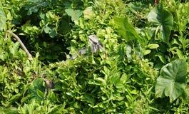 Iguana in tropical vegetation Stock Photos