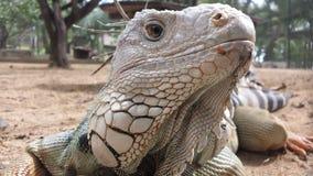 Iguana tropicale Fotografia Stock