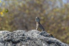 Iguana in Tsingy Fotografia Stock Libera da Diritti
