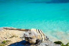 Iguana in Tulum with Caribbean sea of Riviera Maya Mexico royalty free stock photo