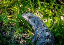 Iguana - Tulum, Mexico Royalty Free Stock Photos