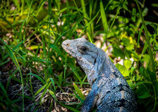 Iguana - Tulum, Mexico Royalty Free Stock Photography