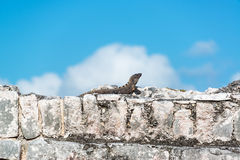 Iguana on Tulum Ruins. Black Spiny Tailed Iguana resting on the ruins of Tulum, Mexico stock images