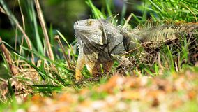 Iguana turning Royalty Free Stock Photo