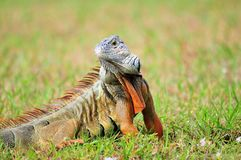 Iguana turning to pose Royalty Free Stock Photo