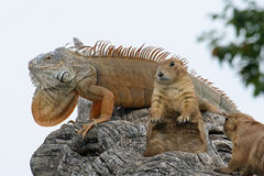 Iguana and two Marmot get hot in the Sun on a branch Royalty Free Stock Photos