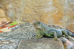 Iguana. Is a large arboreal herbivorous species of lizard native to Central and South America Stock Photo