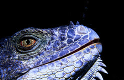 Iguana underater in Honduras Royalty Free Stock Images