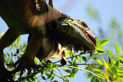 Iguana Up in a Tree Stock Image