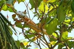 Iguana variopinta su un albero immagine stock