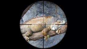 Iguana veduta nella portata del fucile della pistola Caccia della fauna selvatica Animali pericolosi, vulnerabili e minacciati af stock footage
