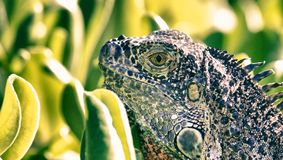 Iguana with Vegetation in Background. Gran Cayman stock images