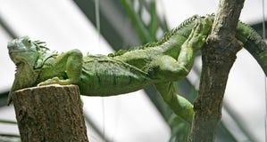 Iguana verde 1 Foto de archivo libre de regalías