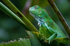 Iguana verde imagem de stock royalty free