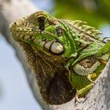 A iguana verde fotografia de stock