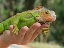 Iguana verde Foto de archivo libre de regalías