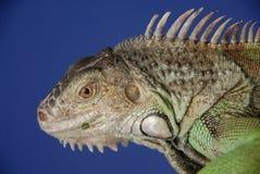 Iguana verde #2 Foto de Stock Royalty Free