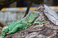Iguana verde Fotografia Stock Libera da Diritti