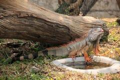 Iguana verde Immagini Stock