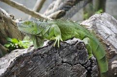 Iguana verde Fotografia Stock