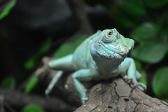 Iguana verde. Imagens de Stock Royalty Free