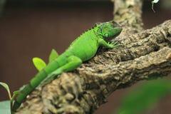 Iguana verde Fotografia de Stock