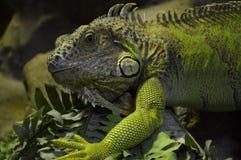 Iguana verde Fotografie Stock