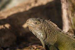 Iguana verde Fotografía de archivo