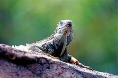 Iguana verde Fotografie Stock Libere da Diritti