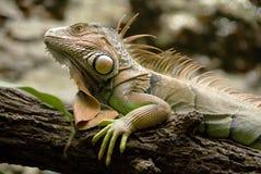 Iguana verde Immagini Stock Libere da Diritti