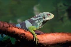 Iguana verde Fotos de Stock
