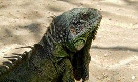 Iguana verde Fotos de archivo