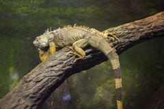 Iguana verde Imágenes de archivo libres de regalías