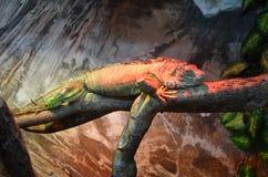 Iguana verde Fotografia de Stock Royalty Free