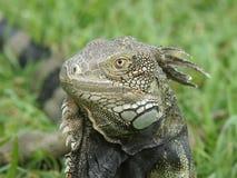 Iguana verde, Aruba, islas de ABC Foto de archivo